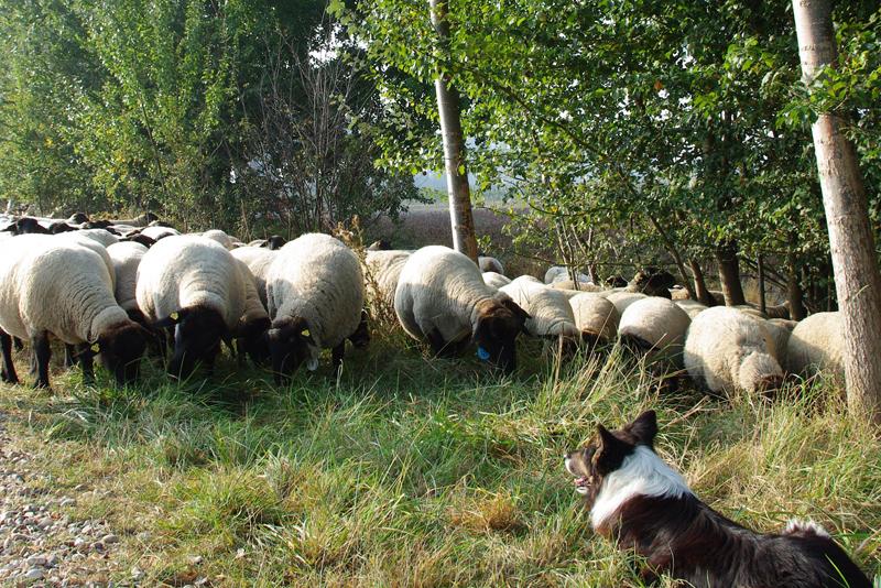 huifkar-schapen